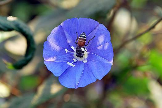 Blue Honey Bee Flower by Denis Shah