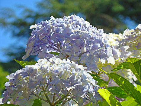 Baslee Troutman - Blue Hydrangea Flowers art prints Summer Floral