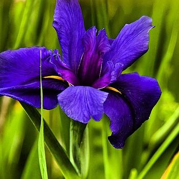 Blue Iris by Felice Willat
