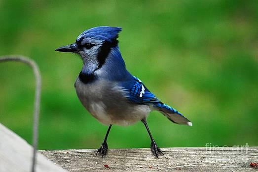 Blue Jay 2 by Crissy Sherman
