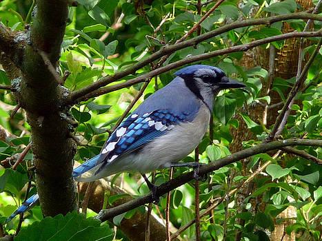 Blue Jay 731b by Robert Amman