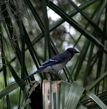 Blue Jay by April Wietrecki Green