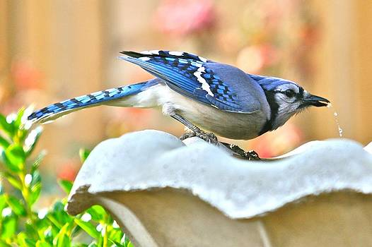 Blue Jay by Debbie Sikes