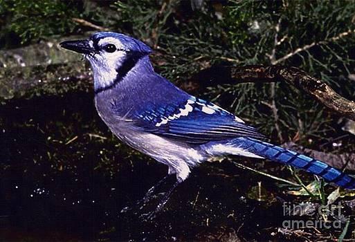 Diane Kurtz - Blue Jay