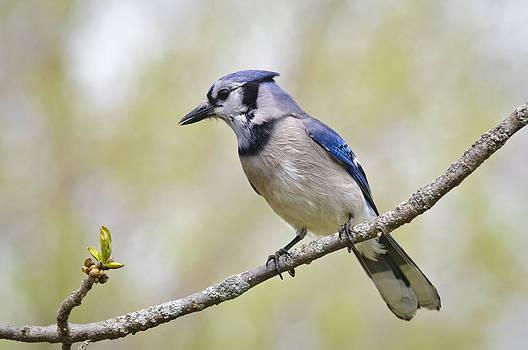 Christine Kapler - Blue Jay in spring colours
