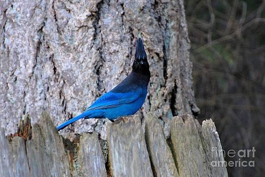 Blue Jay by Marsha Thornton