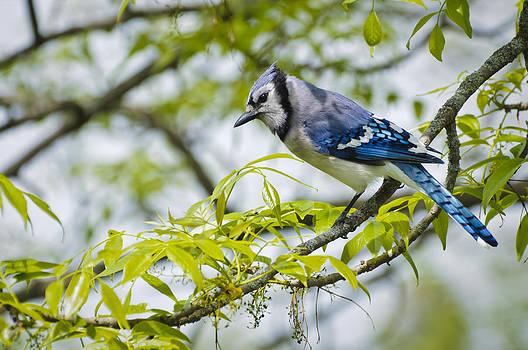 Christine Kapler - Blue Jay on a spring day