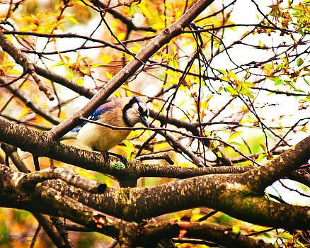 Darlene Bell - Blue Jay Perched In Tree