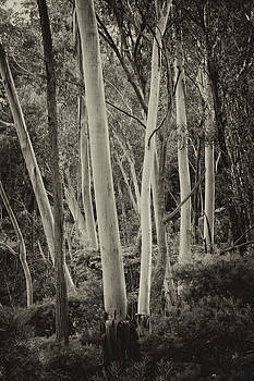 Blue Mountains Ash by Geoff Smith