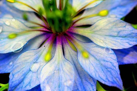 Blue Nigella by Shiladitya Sinha