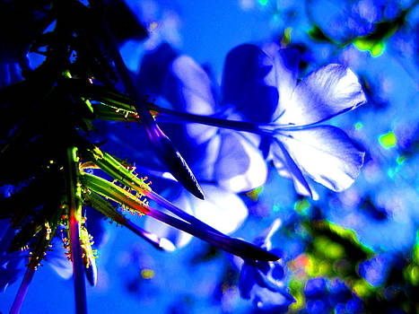 Blue Plumbago Flowers by Catherine Natalia  Roche