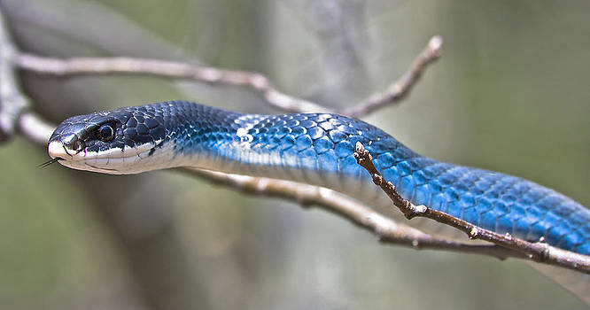Blue Racer Snake by Jeramie Curtice