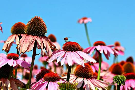 Blue Sky- Cone Flowers and a Bee by Jo Sheehan