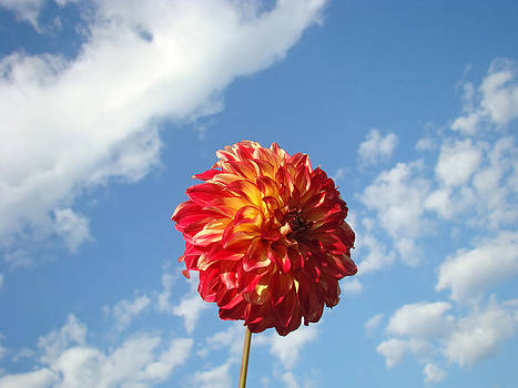 Baslee Troutman - Blue Sky Nature art prinst Red Dahlia Flower