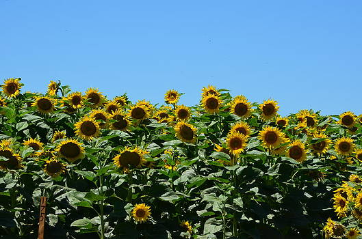 Blue Sky's and Sunflowers by Melissa  Maderos