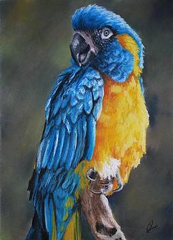 Blue-throated Macaw by Jenny Lei
