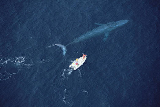 Flip Nicklin - Blue Whale With Research Boat Santa