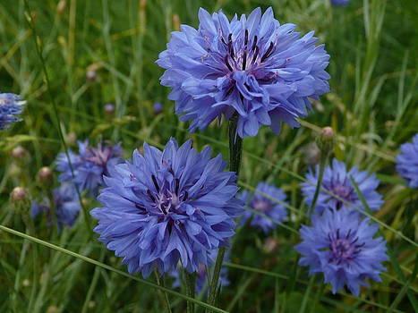Angela Hansen - blue wildflower