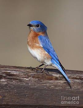 Bluebird On Split Rail by Robert Frederick