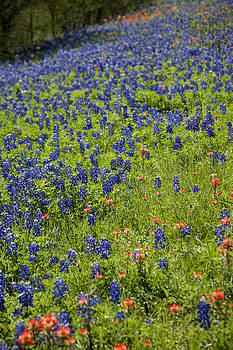 Bluebonnets A Plenty by Jama Pantel