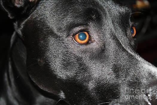 Blued eyed Lokey by Ralph Hecht
