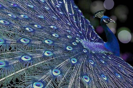 Blues Peacock by Diana Shively