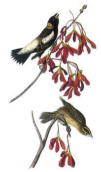 John James Audubon - Bobolink