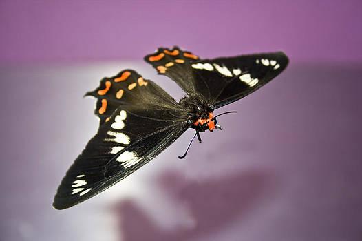Kantilal Patel - Bodyless Moth
