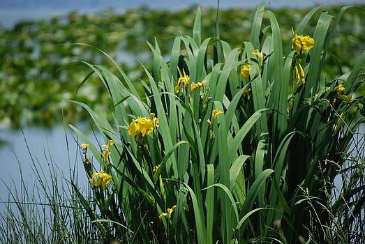 Harvey Barrison - Bokeh of Yellow Flag Water Iris