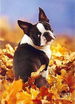 Diane Kurtz - Boston Terrier