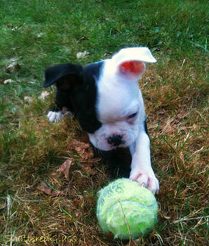 Boston Terrier Puppy by ShatteredGlass Photography