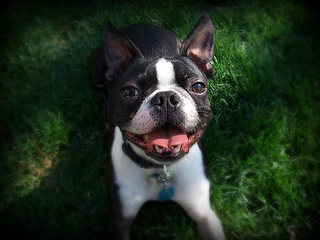 Boston Terrier Smile by ShatteredGlass Photography