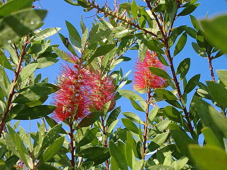 Bottle Brush by Diane Ferguson