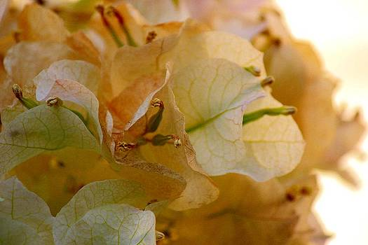 Bougainvillea Memory by Leigh Meredith