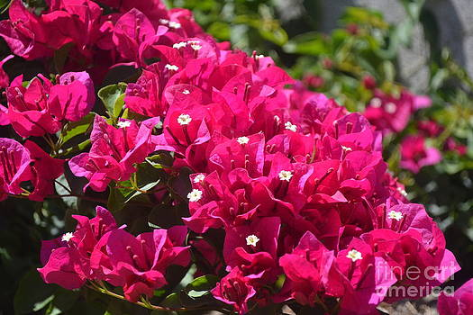 Bougainvillea Red Burst by Henry Lindsey