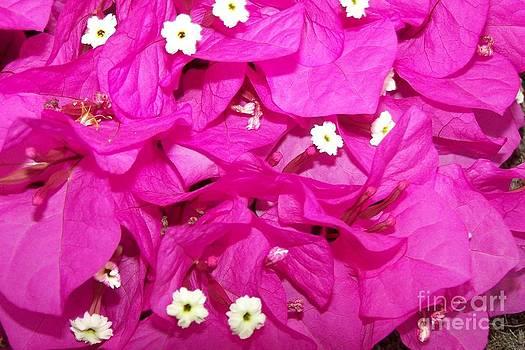 Bougainvillees - Flowers - Ile De La Reunion by Francoise Leandre