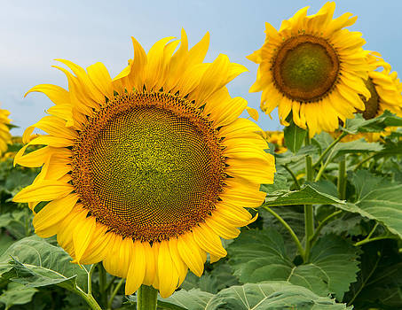 Bright Day Sunflowers by Ray Downs