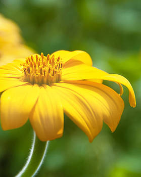 Bright Yellow Flower by Carolyn Meuer-Pickering of Photopicks Photography and Art