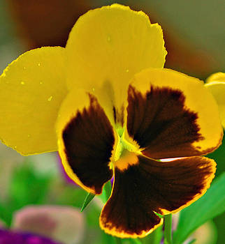 Michelle Cruz - Bright Yellow Pansy