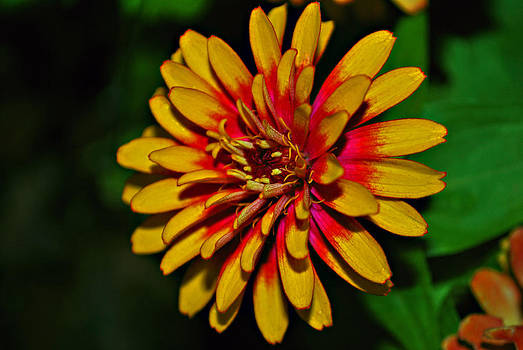 Michelle Cruz - Bright Yellow Zinnia