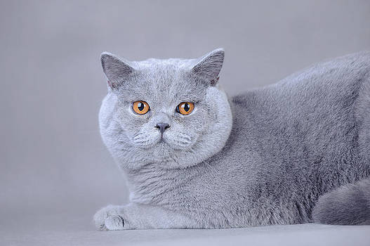 Waldek Dabrowski - British shorthair cat