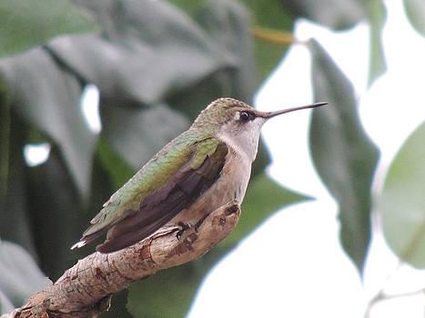 Amalia Jonas - Broad-billed Hummingbird