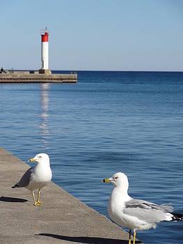 Bronte Lighthouse Gulls by Laurel Best