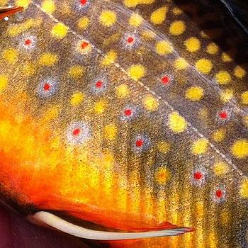 Brook Trout by Dave M