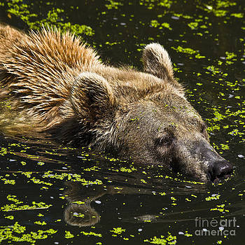 Heiko Koehrer-Wagner - Brown Bear Swimming