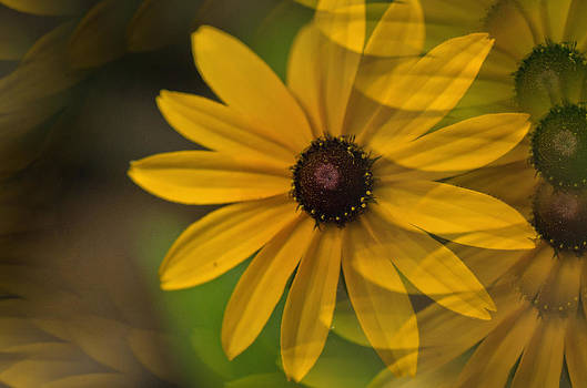 Brown eyed Susan by Cheryl Cencich