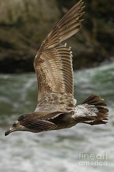 Tim Mulina - Brown Gull in Flight