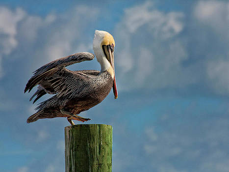 Brown Pelican Ready to Fly by Sandra Anderson