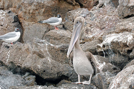 Harvey Barrison - Brown Pelican with Gulls