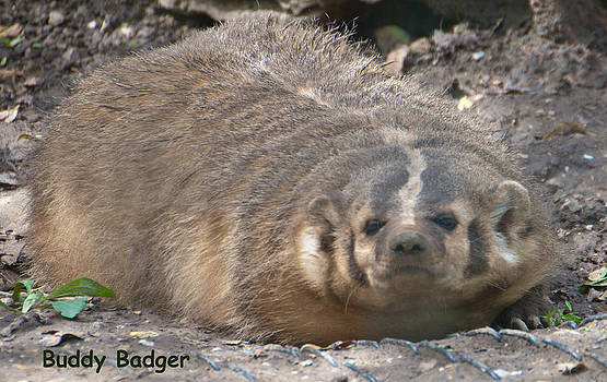 Buddy Badger by Carolyn Meuer-Pickering of Photopicks Photography and Art